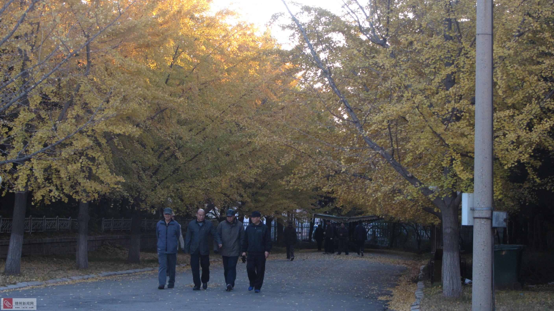 是否可以保留几天金黄银杏树叶的美景